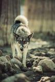 Хорошая собака в древесинах Стоковая Фотография RF