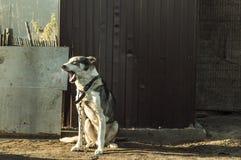 Хорошая собака зевает в утре Стоковое Изображение