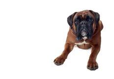 Хорошая собака Стоковое Изображение