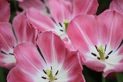 хорошие предпосылки близкие как розовые тюльпаны вверх используют Стоковые Фото