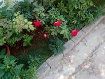 Хорошие розовые цветки стоковое изображение rf
