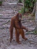 Хороший товарищеский орангутан стоя на дороге и думать (Индонезия) стоковая фотография rf