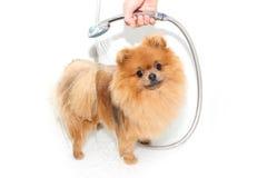 Хорошо выхоленная собака холить Холить pomeranian собаки Смешное pomeranian в ванне Собака принимая ливень Собака на белом backgr стоковые фотографии rf