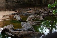 Хорошо поданные крокодилы на береге стоковое фото rf