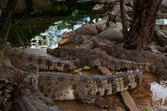 Хорошо поданные крокодилы на береге стоковое изображение