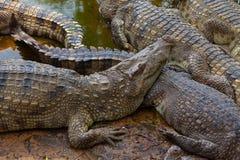 Хорошо поданные крокодилы на береге стоковые изображения