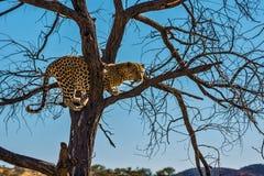 Хорошо поданный леопард в Намибии Стоковые Фото