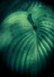 Хоста в тени Стоковое фото RF