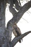 Хоук как раз свирепо приземлился на ветвь дерева в Африке стоковые фотографии rf