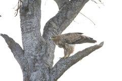 Хоук как раз свирепо приземлился на ветвь дерева в Африке стоковая фотография