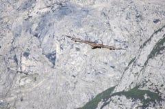 Хоук летания Стоковая Фотография