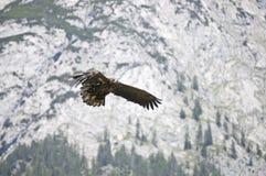 Хоук летания Стоковое Изображение RF