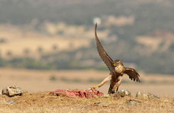 Хоук орла представляет с едой в поле Стоковая Фотография