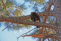 Хоук садить на насест на ветви дерева Стоковое фото RF
