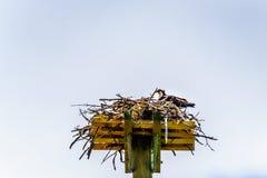 Хоук скопы или рыб на своем гнезде под голубым небом, вдоль дороги Coldwater около Меррита Стоковые Фото