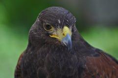 хоук сокола орла птицы Стоковые Фото