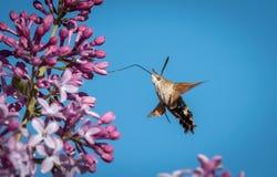 Хоук-сумеречница колибри подавая на цветениях сирени Стоковое Фото