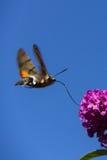 Хоук-сумеречница колибри Стоковая Фотография