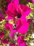 Хоук-сумеречница колибри Стоковые Изображения