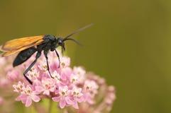 Хоук тарантула на розовых цветках Стоковые Изображения RF
