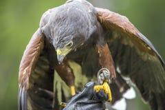 Хоук Херриса садился на насест на руке соколиного охотника Стоковая Фотография RF