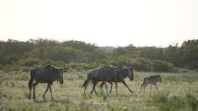 Ход антилопы гну Стоковая Фотография