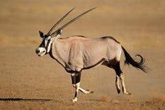 Идущая антилопа сернобыка Стоковое Изображение RF
