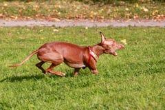 Ход гончей собаки фараона Стоковое Фото