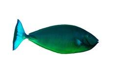 холеное unicornfish Стоковые Изображения RF