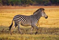 Ход зебры Стоковые Фотографии RF