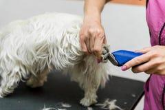 Холить белого терьера западной гористой местности собаки Стоковое фото RF