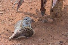 Холить земной белки (Marmotini) Стоковое фото RF