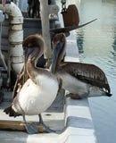Холить пеликана Стоковое фото RF