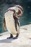 Холить пингвина Гумбольдта Стоковые Фотографии RF