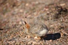 Ход кролика Cottontail Стоковое Изображение