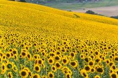 Холмы солнцецветов в Италии Стоковое фото RF