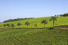 Холмы с плантацией чая стоковые фотографии rf