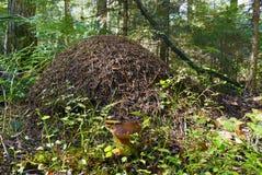 Холм муравея Стоковая Фотография