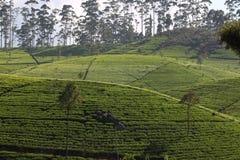 Холм плантации чая стоковое фото rf