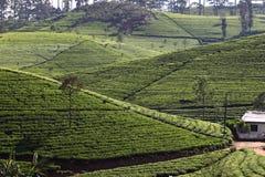 Холм плантации чая стоковое изображение rf