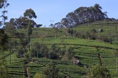 Холм плантации чая стоковые изображения rf