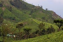 Холм плантации чая стоковые фото