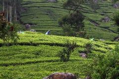 Холм плантации чая стоковая фотография rf