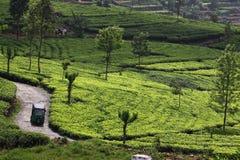 Холм плантации чая стоковое изображение