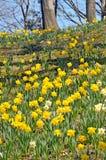 Холм Daffodil Стоковые Фотографии RF