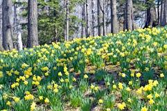 Холм Daffodil Стоковые Фото