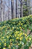 Холм Daffodil Стоковое фото RF