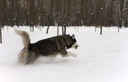 Ход осиплого снега волка дикой собаки зимы снега красивого гордого животного большой перескакивает через снег Стоковое Изображение RF