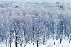 Холодный голубой рассвет над снежным лесом в зиме Стоковая Фотография RF
