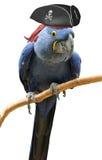 Холодный и необыкновенный портрет птицы попугая пирата Стоковое Изображение